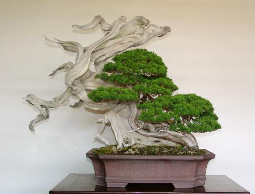 Il bonsai nella cultura giapponese incontro con tollini for Bonsai italia