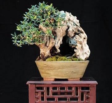 Mostra di bonsai e suiseki roma giappone in italia for Bonsai italia