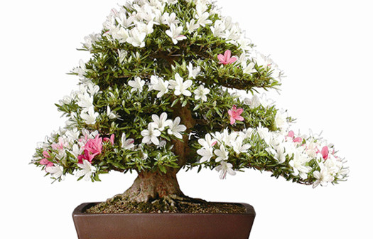 Satsuki bonsai festival parabiago mi giappone in italia for Bonsai italia