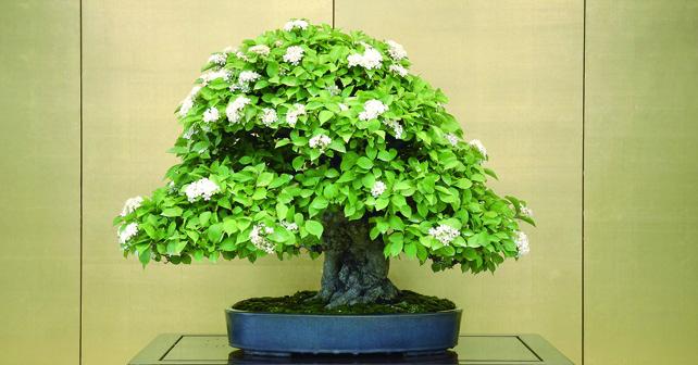 Aperte le iscrizioni all 39 universit del bonsai crespi for Bonsai italia