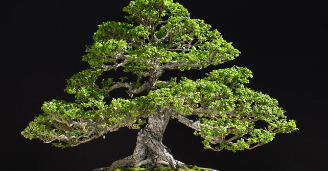 Mostra di bonsai roma giappone in italia for Bonsai italia